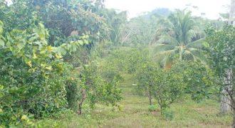 Citrus farms for sale in Belize | 10 Acre Citrus Farm in Southern Belize