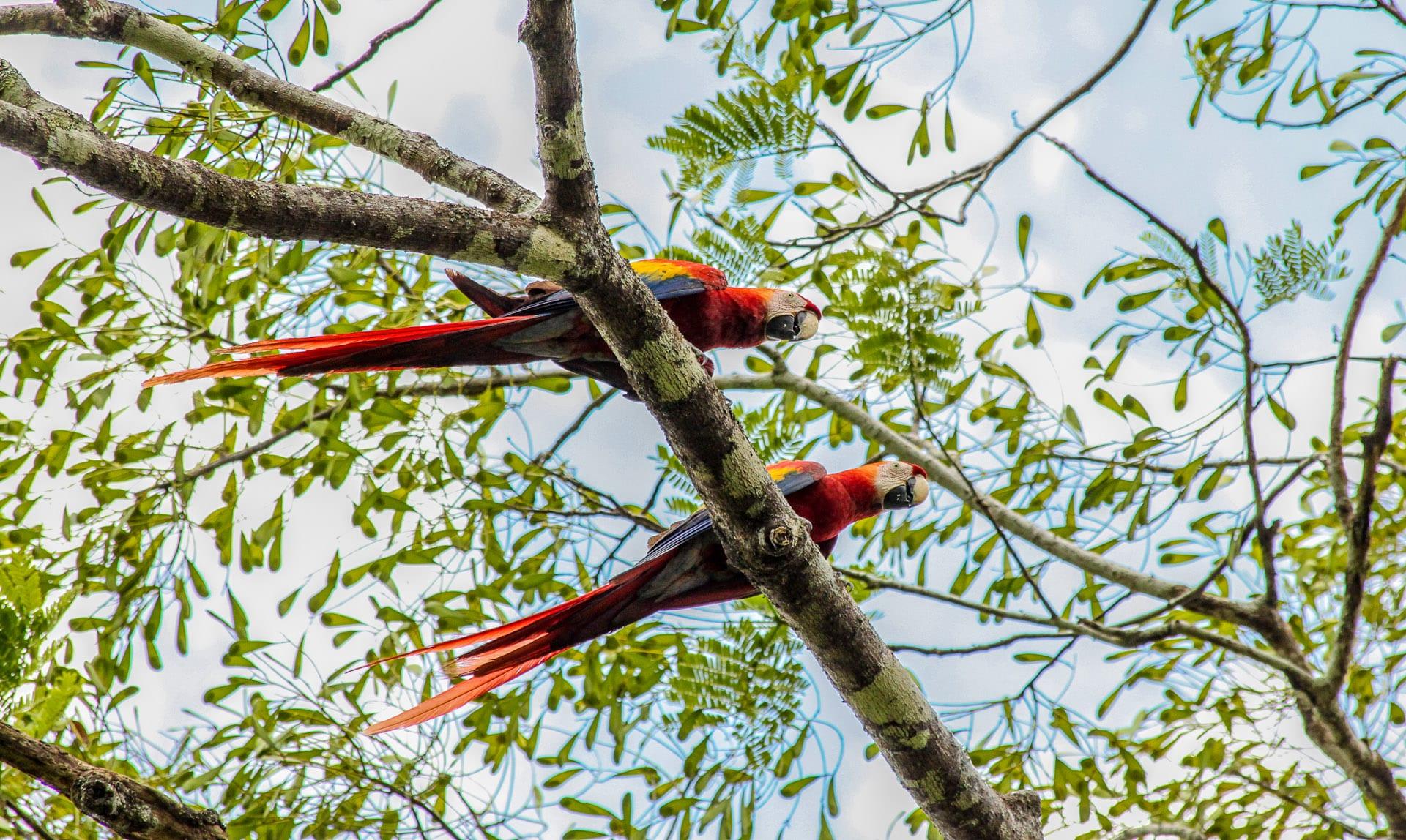 scarlet macaw trees belize