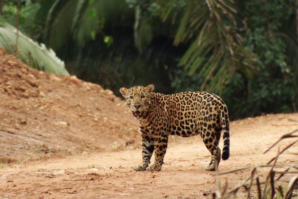 jaguar belize access road cockscomb reserve