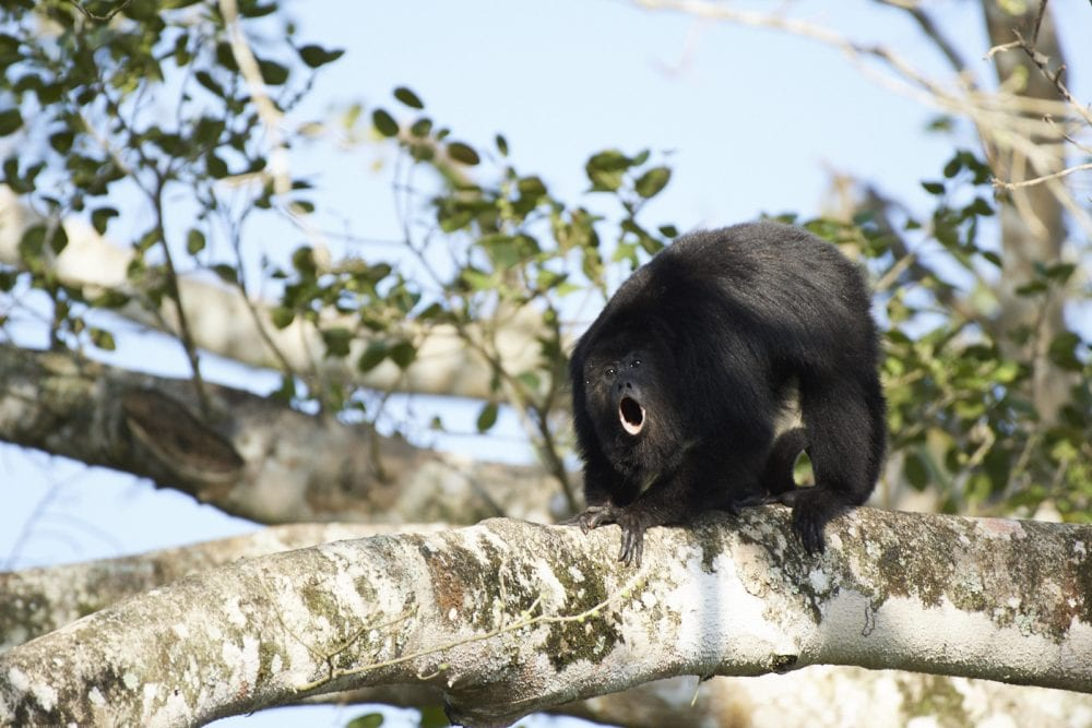 protected howler monkey