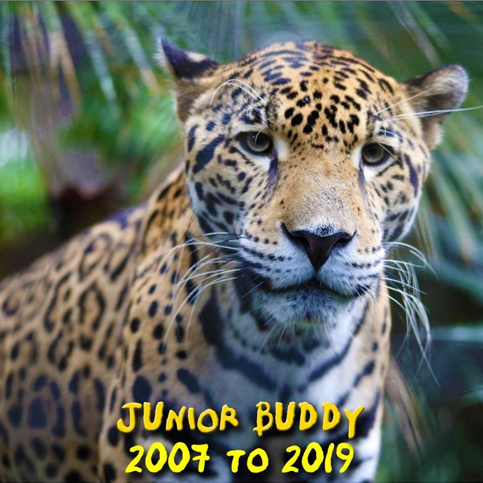junior buddy