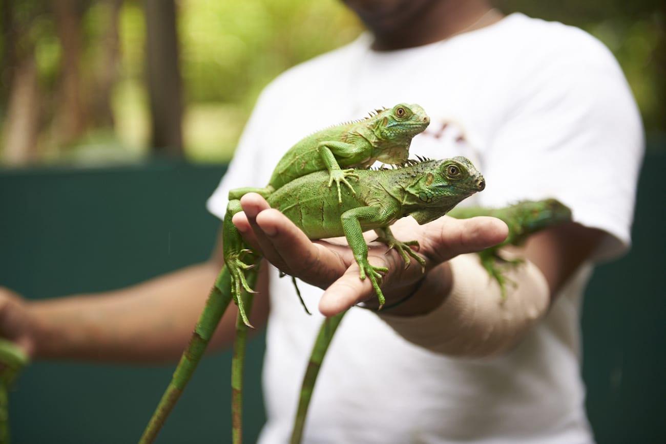 Green Iguana wildlife spotting belize