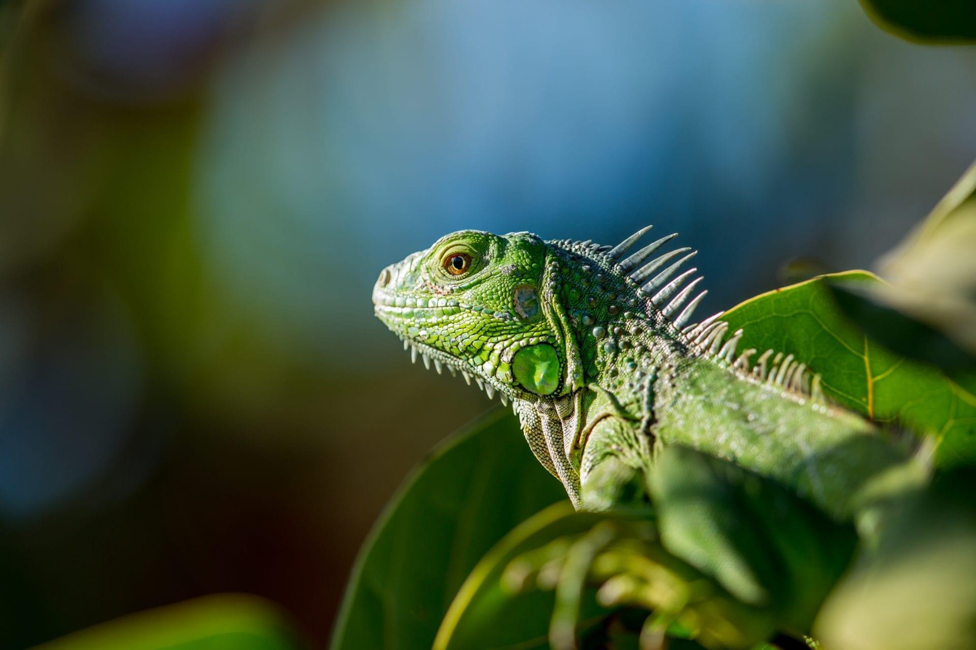 iguana-nature