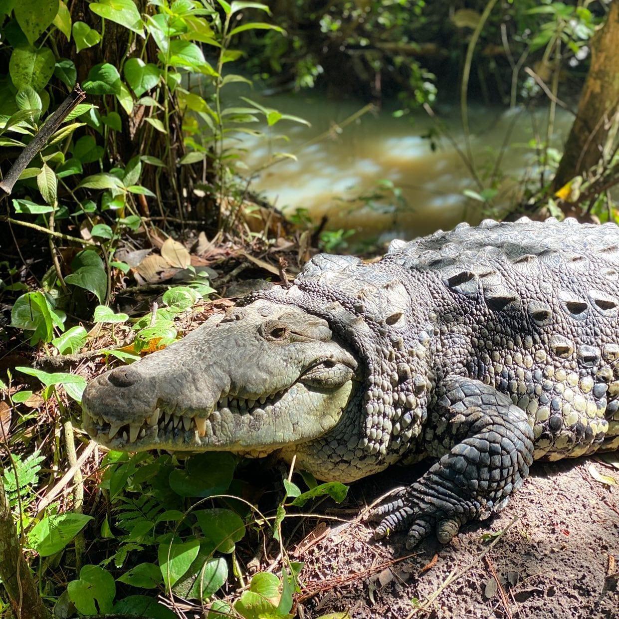 belize crocodile tour