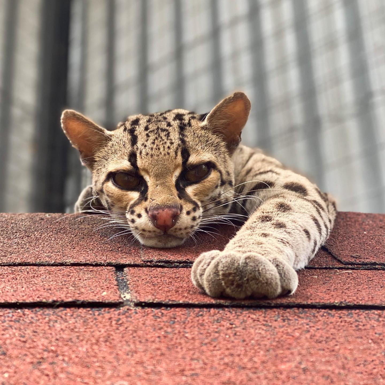 Belize wild cat margay big