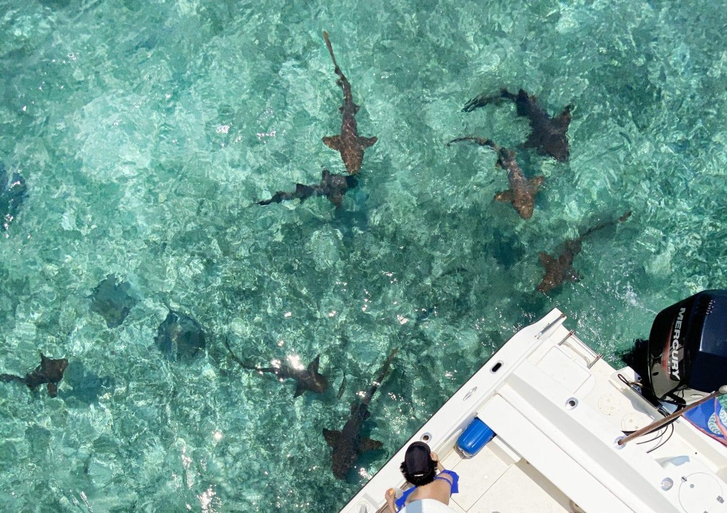 sting rays nurse sharks