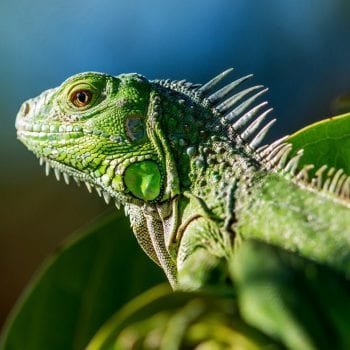 Green Iguanas Conservation Project
