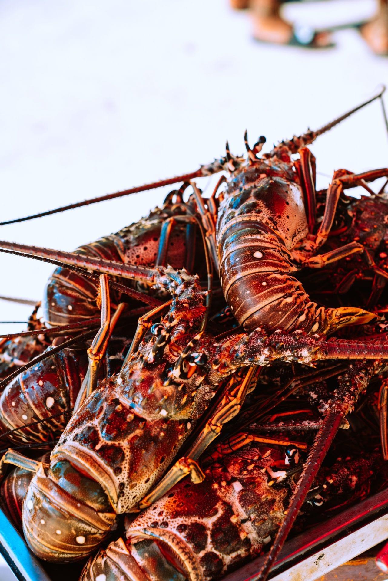 Belize-Spiny-Lobster