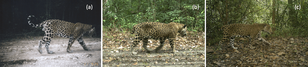 Image_Jaguar_ShortTail-FIg-1-3 belize Guatemala
