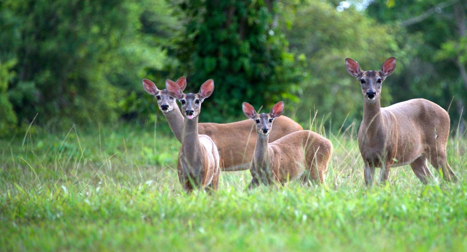 red bracket deer programme for belize ecotourism
