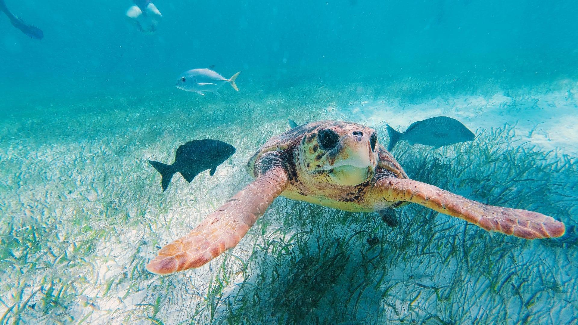 sea turtle underwater with fish belize