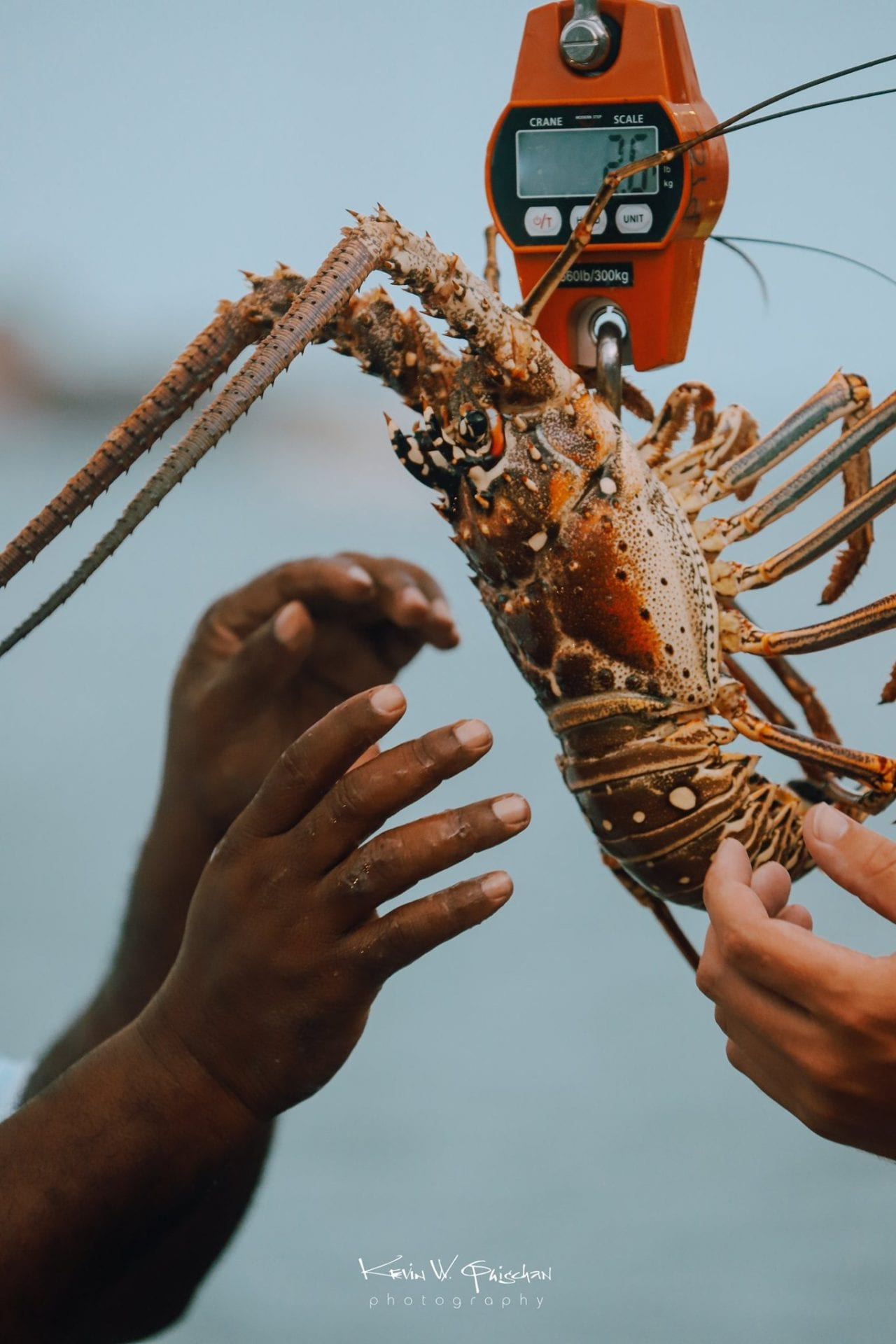 spiny lobster belize sustainable seafood