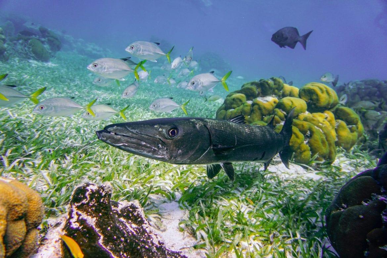 barracuda belize underwater