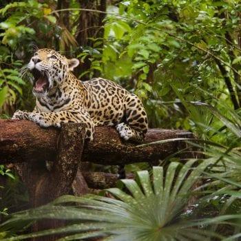 belize wild cat big jaguar zoo