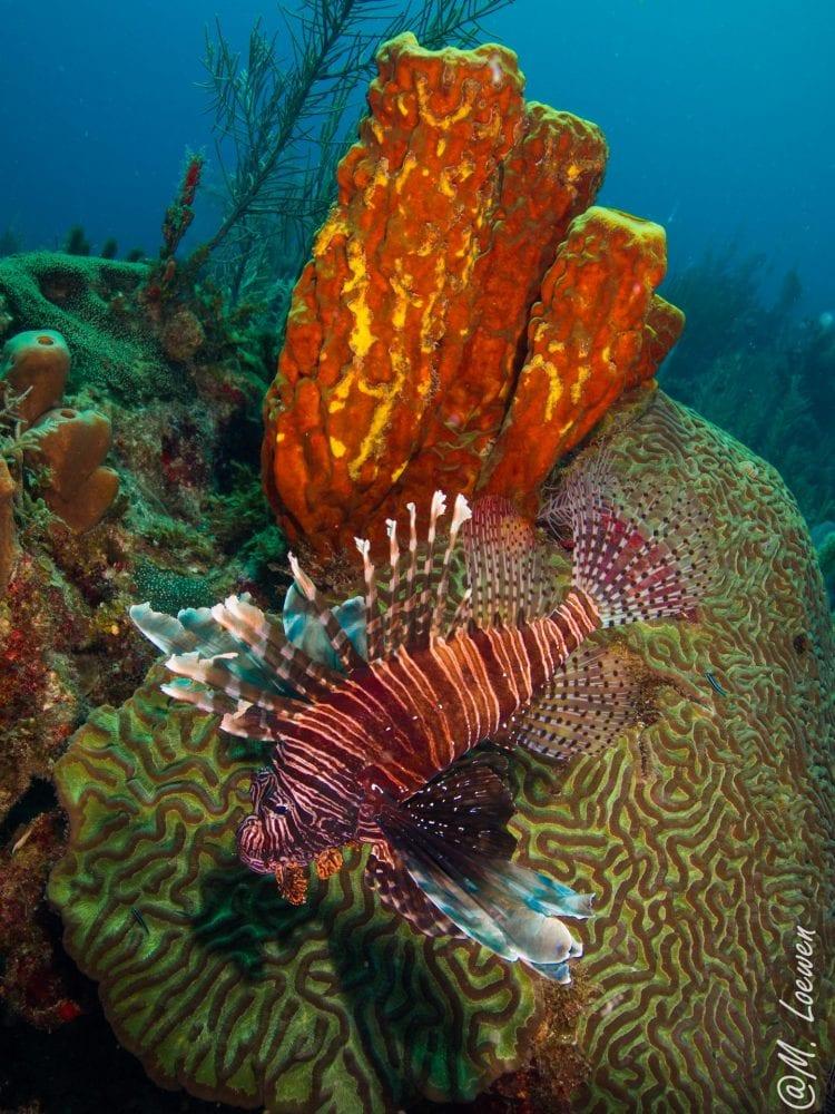 lionfish belize splash dive
