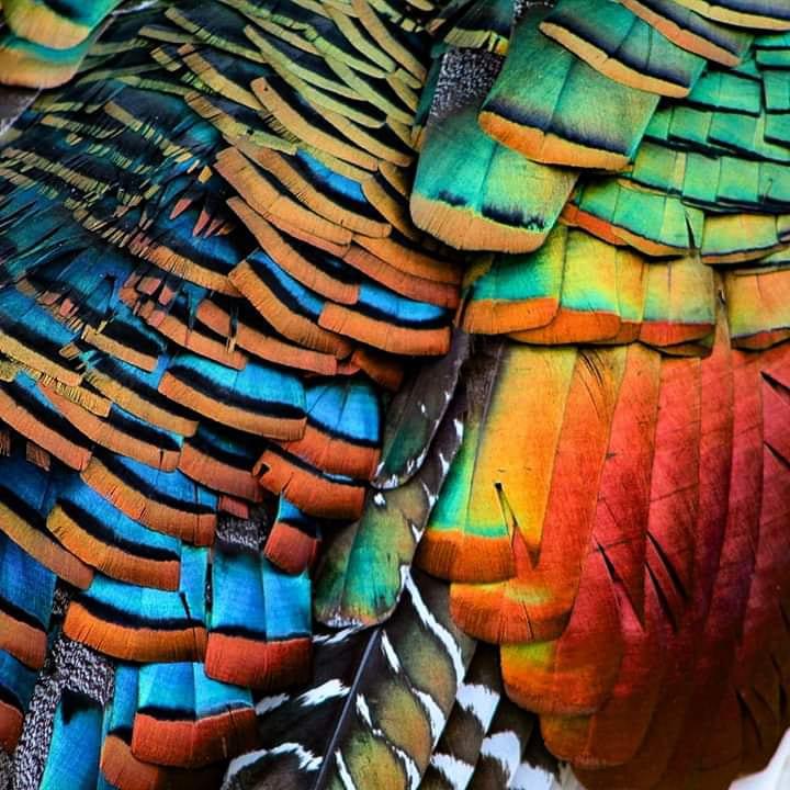 Ocellated Turkey Close up birding