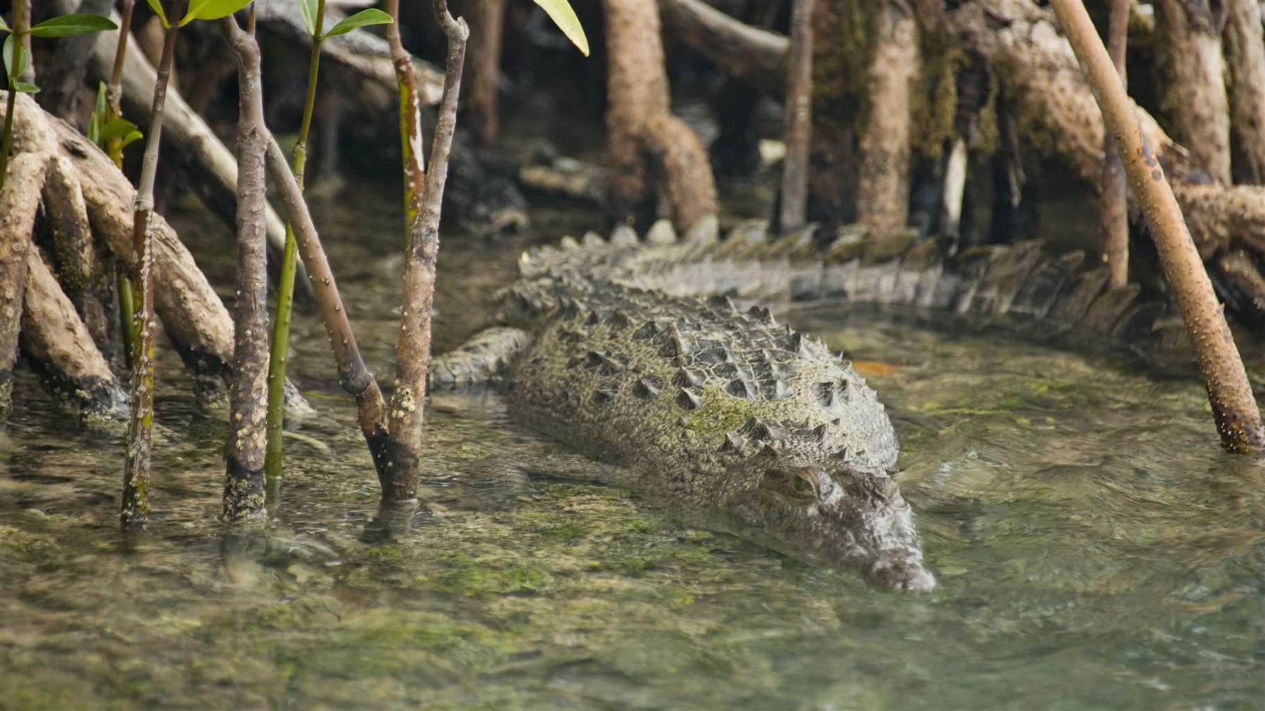 belize climate change crocodile