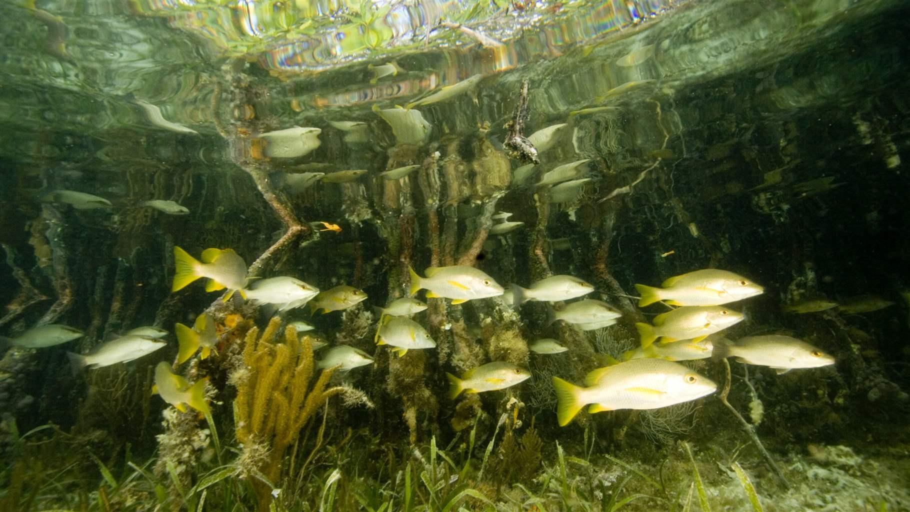 mangroves belize climate change coastal