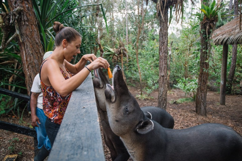 Belize Zoo tapir feeding carrots