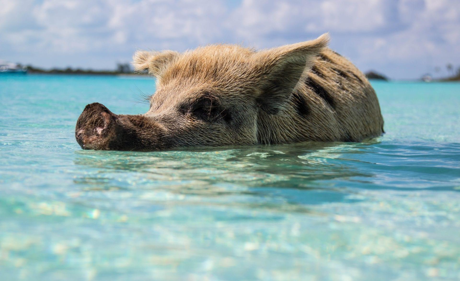 bahamas-pig-vacation