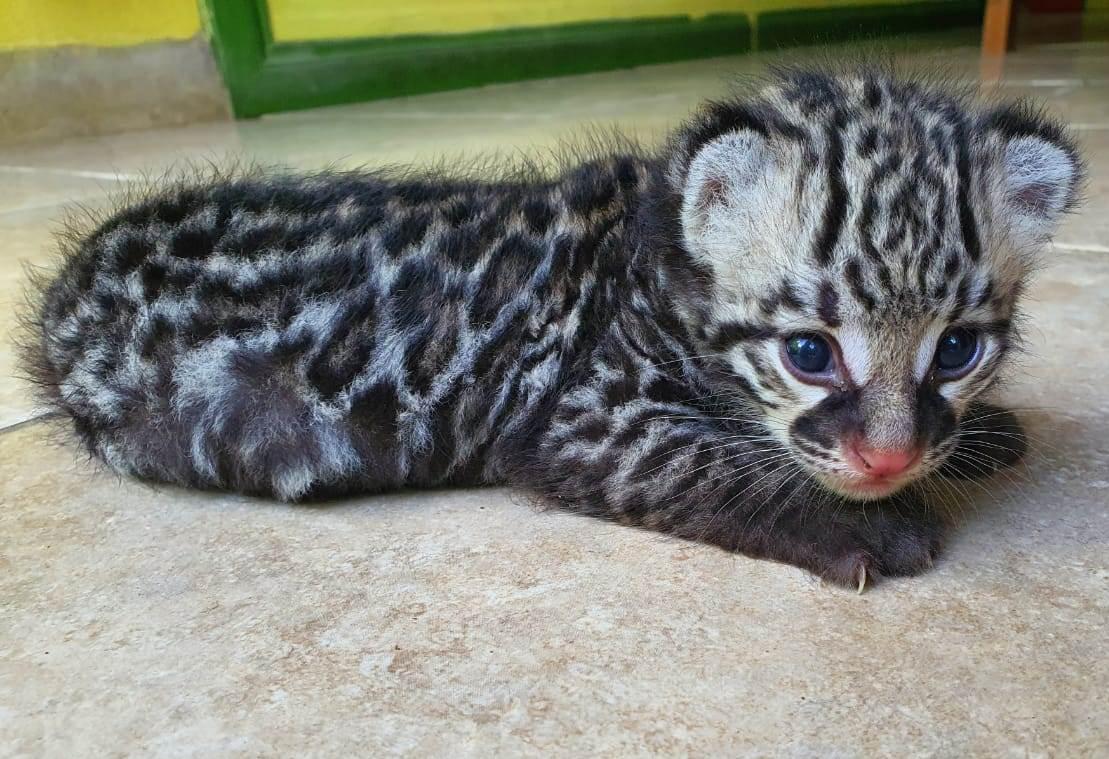 baby ocelot flood victim the belize zoo adopt
