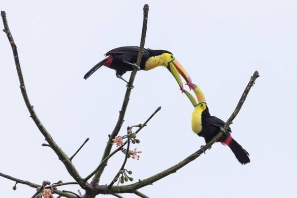 toucan pair san ignacio resort hotel