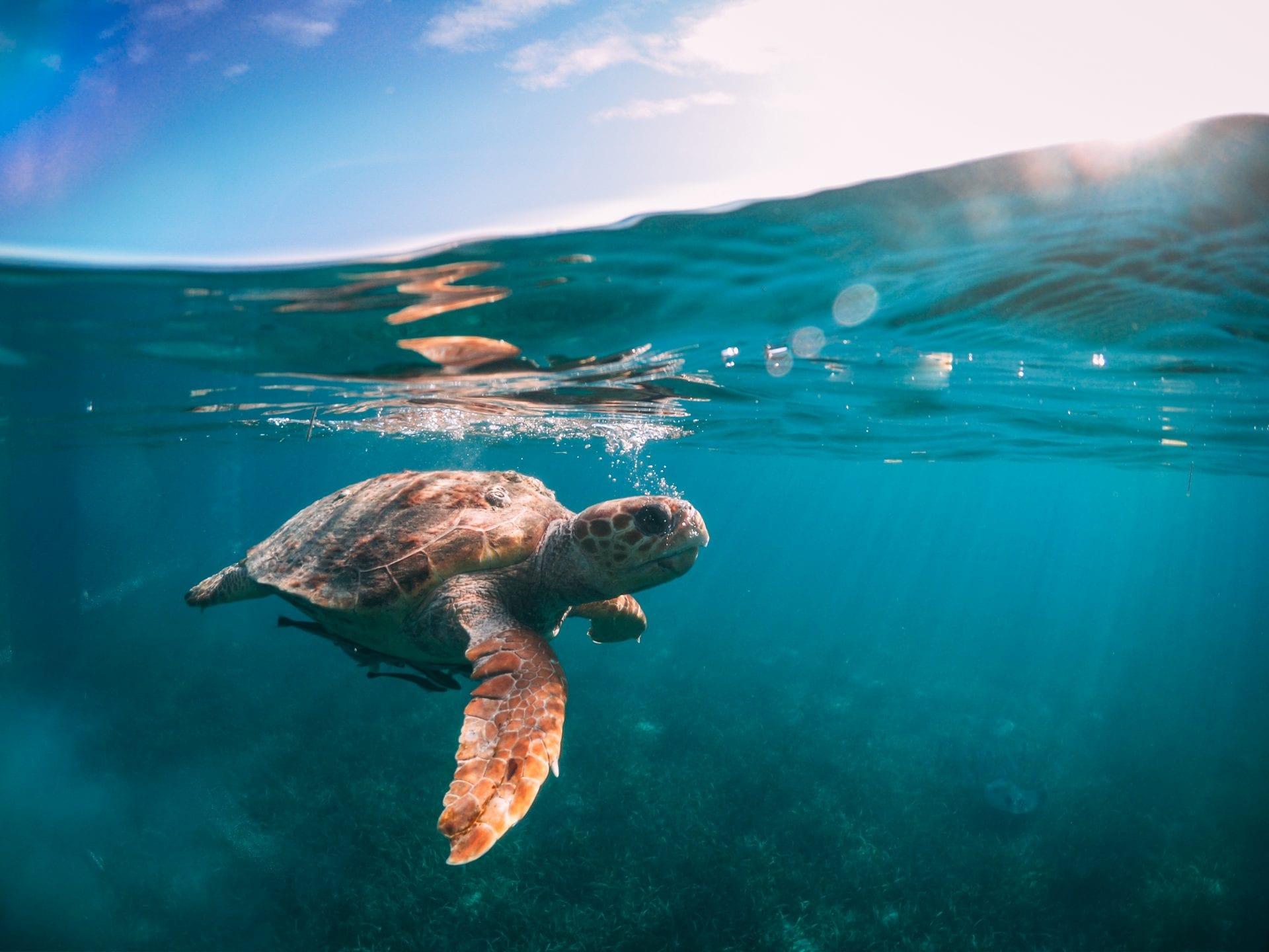 turtle underwater snorkel