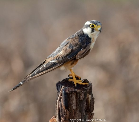 aplomado falcon birding in molt francis canto jr