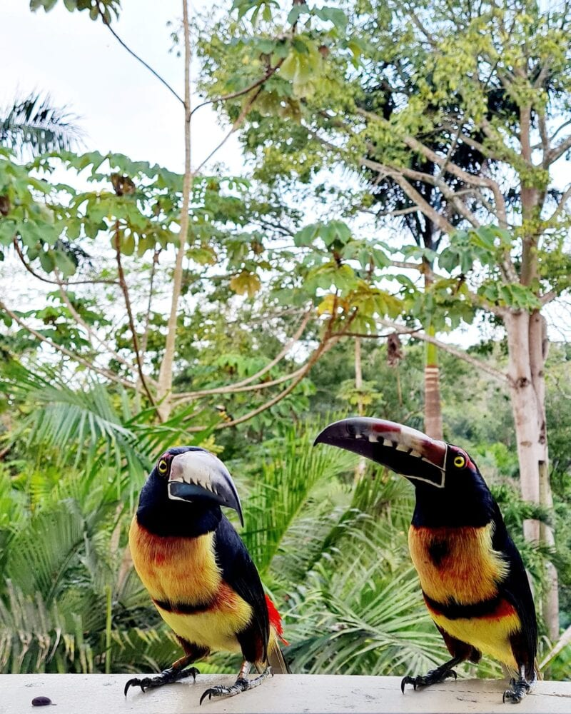 collared aracari belize San Ignacio belize