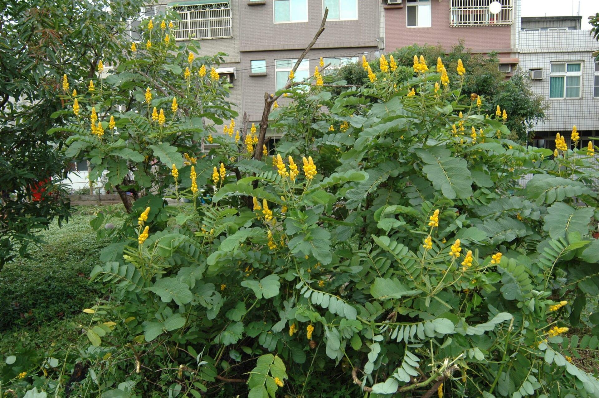 Senna Alata bush medicine belize