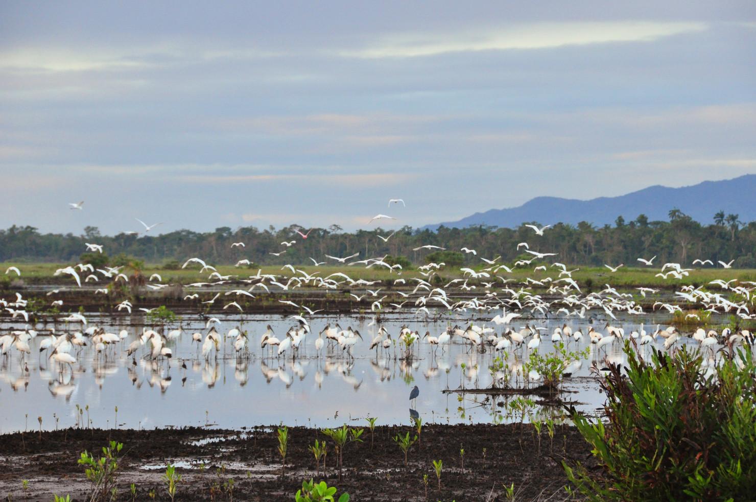 Belize Wetland Birds julian shuttles