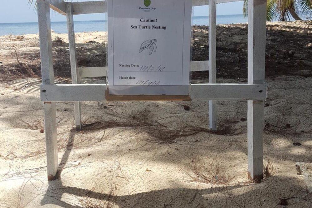 ranguana-caye-turtle-nesting