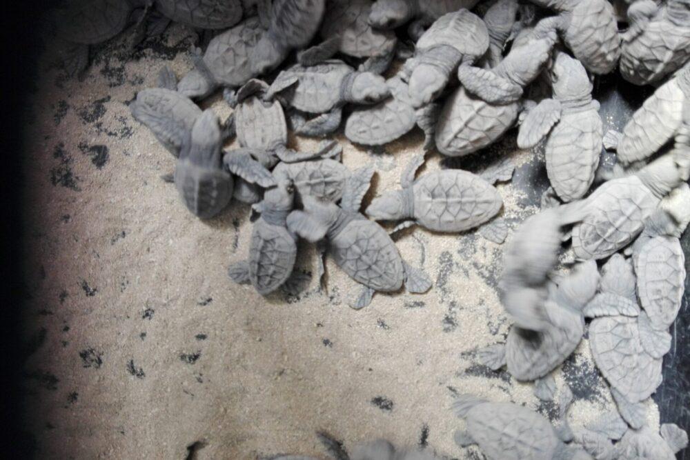 ranguana-caye-turtle-nesting-hatchlings